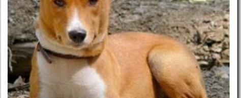 Басенджи. Собака из Африки.