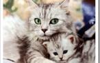 Нужна ли кошке стерилизация?