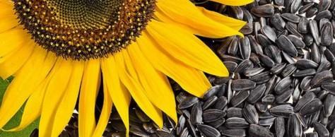Семена подсолнечника – полезны для здоровья!