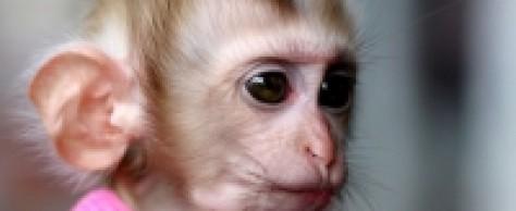 Японцы вернули к нормальной жизни полностью парализованную обезьянку: дело за людьми?..